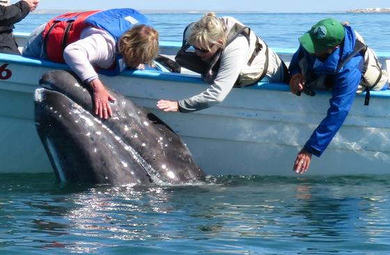 Petting a gray whale from our dinghy